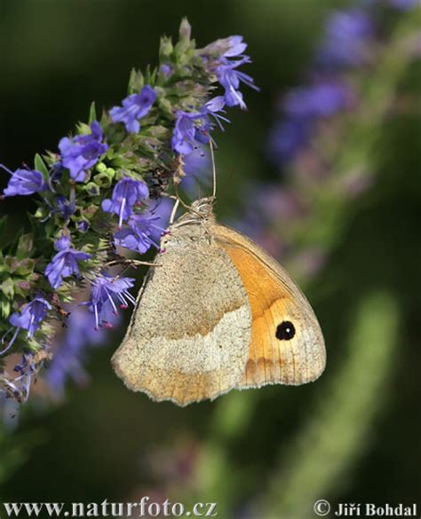 Maniola jurtina Pictures, Meadow Brown Images, Nature
