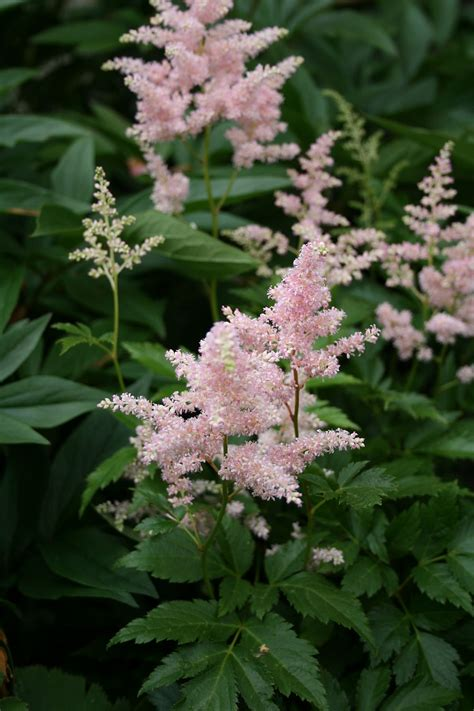 Astilbe × arendsii - Wikispecies