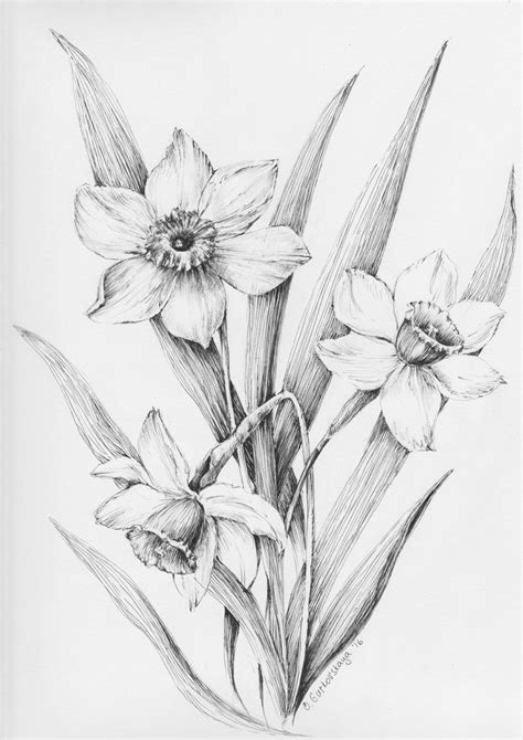 daffodil flowers Narcissus black and white by